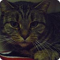 Domestic Shorthair Cat for adoption in Hamburg, New York - Fiona Gal