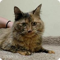Adopt A Pet :: Aurora - Chatty & Petite - Arlington, VA