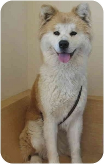 Akita Dog for adoption in Hayward, California - Charlotte
