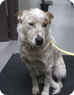 Australian Shepherd/Australian Cattle Dog Mix Dog for adoption in Elk River, Minnesota - Riley