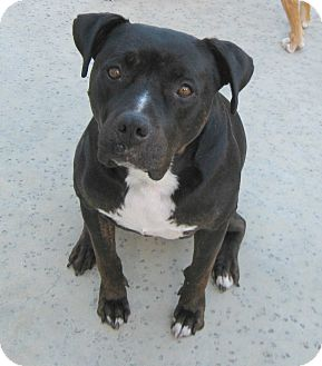 labrador retriever terrier mix kona adopted dog carpenteria ca labrador retriever 7048