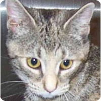 Adopt A Pet :: Pebbles - Annapolis, MD