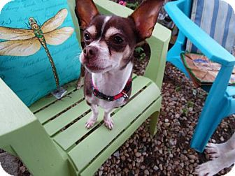 Chihuahua Dog for adoption in Bellbrook, Ohio - Rio