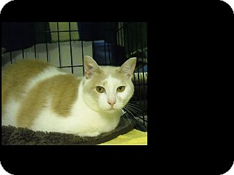 Domestic Shorthair Cat for adoption in Berkeley Hts, New Jersey - Pretty Girl*Courtesy Post*