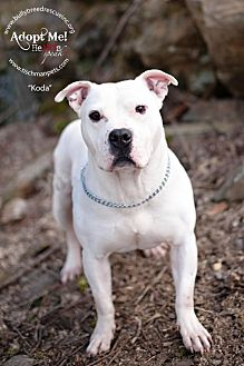 American Pit Bull Terrier Mix Dog for adoption in New Canaan, Connecticut - Koda
