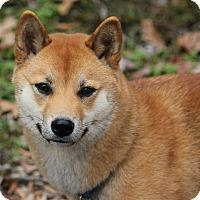 Adopt A Pet :: Satoshi - Manassas, VA
