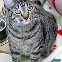 Domestic Shorthair Cat for adoption in St Louis, Missouri - Apollo