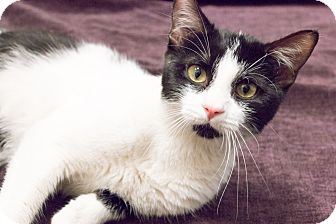 Domestic Shorthair Cat for adoption in Chicago, Illinois - Kerouac