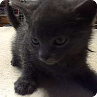 Adopt A Pet :: Daffy - Forest Hills, NY