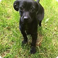 Adopt A Pet :: Decaf - Atlanta, GA