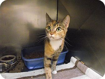 Domestic Shorthair Cat for adoption in Chambersburg, Pennsylvania - Tigger