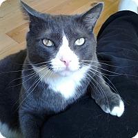 Adopt A Pet :: Jasper *declawed* - Toronto, ON
