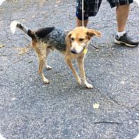 Adopt A Pet :: Hobie - Tenafly, NJ