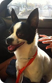 Chihuahua/Rat Terrier Mix Dog for adoption in Portland, Oregon - Jack