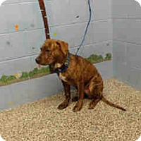Adopt A Pet :: URGENT ON 10/20 San Bernardino - San Bernardino, CA