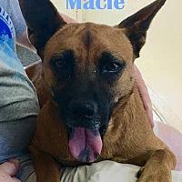 Adopt A Pet :: Macie - Orangeburg, SC