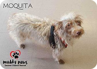 Yorkie, Yorkshire Terrier/Terrier (Unknown Type, Small) Mix Dog for adoption in Council Bluffs, Iowa - Moquita - Pending adoption