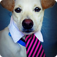 Terrier (Unknown Type, Small)/Chihuahua Mix Dog for adoption in Casa Grande, Arizona - Flyby