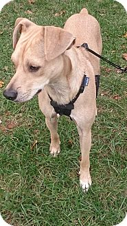 Italian Greyhound/Chihuahua Mix Dog for adoption in Bridgewater, New Jersey - Odie