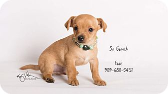 Chihuahua Mix Puppy for adoption in Riverside, California - Sir Garath