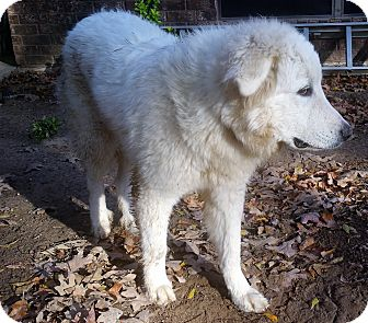 Great Pyrenees Puppy for adoption in Ascutney, Vermont - Yeti - Arrives 12/3!