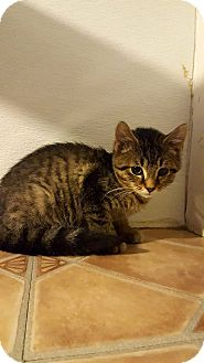 Domestic Shorthair Cat for adoption in Fairmont, West Virginia - Edgar