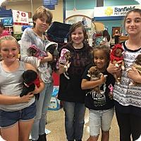 Adopt A Pet :: Chi pup - Pompano Beach, FL