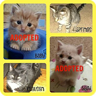 Domestic Shorthair Cat for adoption in Valley City, North Dakota - Adult Cats (Courtesy Listing)