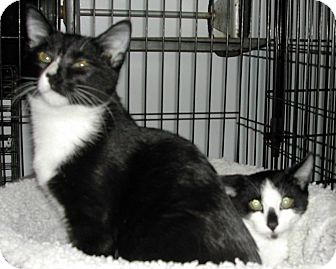 Domestic Shorthair Cat for adoption in Bear, Delaware - Molly & Mosby