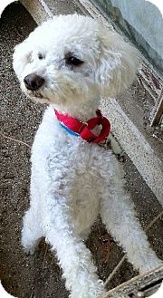 Poodle (Miniature)/Bichon Frise Mix Dog for adption in Long Beach, California - Nicky