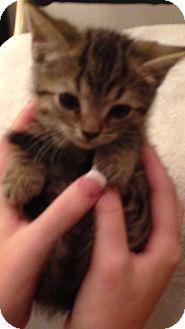 Domestic Shorthair Kitten for adoption in Aiken, South Carolina - Novalee
