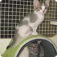 Adopt A Pet :: Nova - Dallas, TX