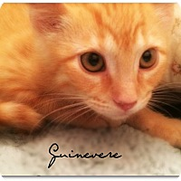 Domestic Shorthair Cat for adoption in McKinney, Texas - Guinevere