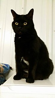 Domestic Shorthair Cat for adoption in Amarillo, Texas - Sassy