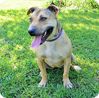 Shar Pei/Pit Bull Terrier Mix Dog for adoption in TRACY CITY, Tennessee - Lexus