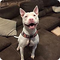Adopt A Pet :: Evie - Newtown, CT