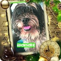 Adopt A Pet :: Bandit - Encino, CA
