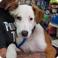 Adopt A Pet :: Calie - Brooklyn, NY