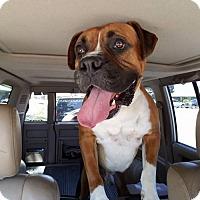 Adopt A Pet :: Rollie - Woodinville, WA