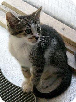 Domestic Shorthair Kitten for adoption in Sherman Oaks, California - Montage