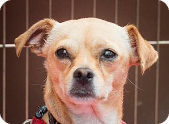 Chihuahua/Pug Mix Dog for adoption in San Marcos, California - Poppy