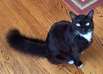 Persian Cat for adoption in San Francisco, California - Tantalizing Toby