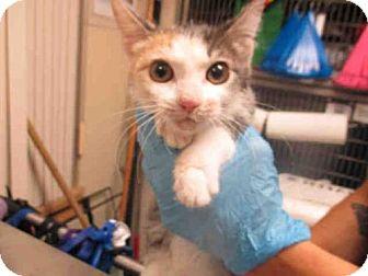 Domestic Mediumhair Kitten for adoption in San Diego, California - A1748143