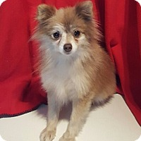 Pomeranian Dog for adoption in Overland Park, Kansas - Posey