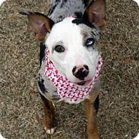 Adopt A Pet :: Malibu - Norman, OK
