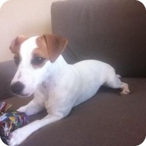 Jack Russell Terrier Puppy for adoption in Houston, Texas - Bellie in Houston