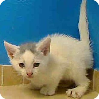 Domestic Shorthair Kitten for adoption in East Brunswick, New Jersey - Mello