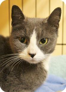 Domestic Shorthair Kitten for adoption in Medford, Massachusetts - Cheri