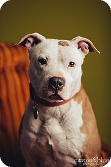 Pit Bull Terrier Dog for adoption in Portland, Oregon - Earnest