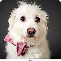 Adopt A Pet :: Betty - New York, NY